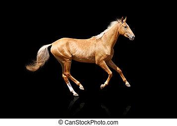 palomino stallion isolated on black