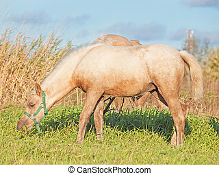 palomino welsh pony foal in the pasture