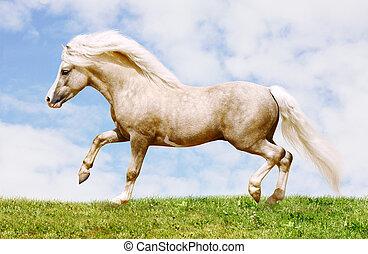 palomino welsh pony stallion galloping