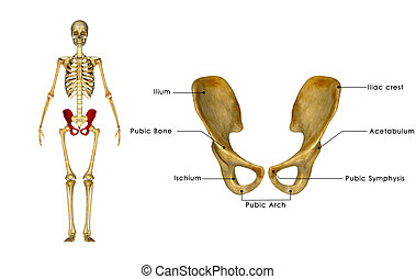Palvic hip Girdle - In human anatomy, the pelvis (plural...