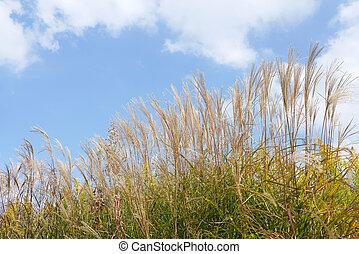 pampas gras, gegen, der, blauer himmel