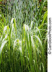 pampas gras, in, der, morgen, regen