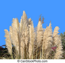 Pampas grass, kortaderiya (Cortaderia selloana) against a blue autumn sky