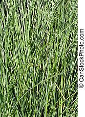 Pampas grass - Background from pampas grass