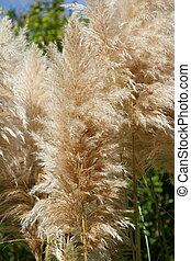 Pampas grass, Cortaderia selloana - Pampas grass