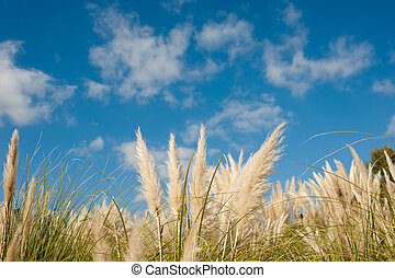 Pampas grass - Fluffy pampas grass feathers against blue sky