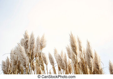 Pampas grass in the sky, Abstract natural background of soft...