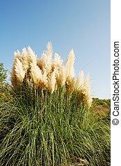 Large bunch of pampas grass under blue sky