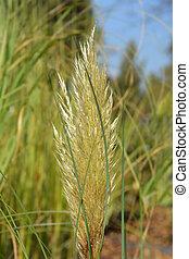 Pampas grass - Latin name - Cortaderia selloana