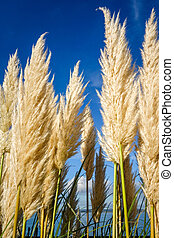 pampas grass on a blue sky background - pampas grass - ...