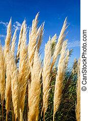 pampas grass - Cortaderia selloana - on a blue sky background