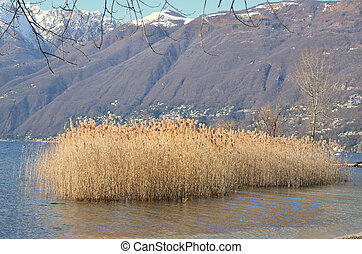 Pampas grass on a lake with snow-capped mountains
