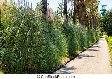 Pampas Grass or Cortaderia selloana or Cortaderia Cello or ...