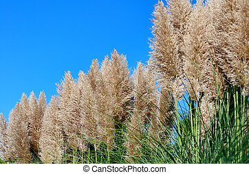 Pampas Grass. Taken against the backdrop of blue sky.