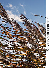 Pampas grass with blue sky and clouds swaying in the wind...