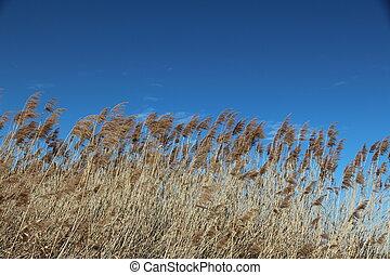 pampasgrass, wind