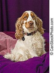 Pampered Cocker Spaniel Dog