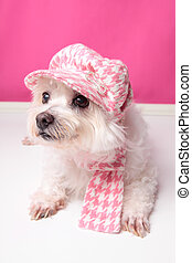Pampered maltese terrier - A pampered pooch wearing pink...