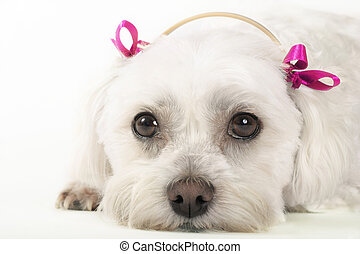 Pampered Pooch - Maltese dog with pink ribbons