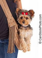 Pampered Yorkshire Terrier Dog in Suede Carrier
