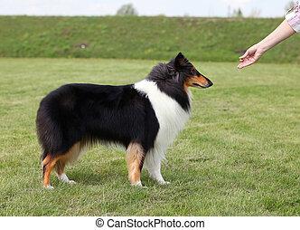 paní, sled, ji, pes
