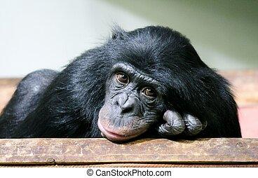 (pan, mono, chimpancé, chimpancé, troglodytes), triste, mono