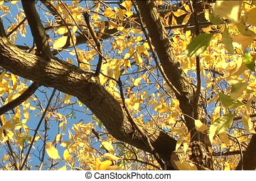 pan of ash tree - circular pan of an ash tree limbs in fall