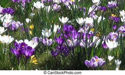 Pan of crocuses