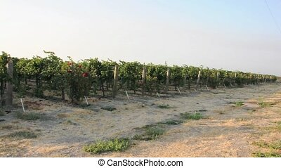 Pan of Grapes on a Vine at a Vineyard in California 02