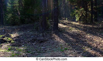 Pan on spring forest at sunset with light