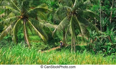 Pan over coconut palm trees and Tegalalang Rice Terrace Field. Bali. Indonesia