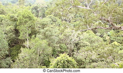 Pan over rainforest canopy - Branch of a giant emergent...