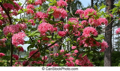 pan pink rhododendron - Panning near pink rhododendron...