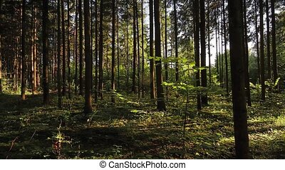 Pan summer forest, the sun