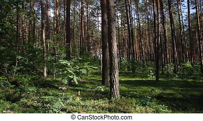 pan summer forest