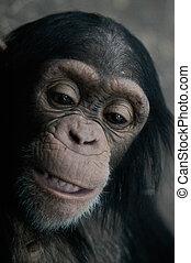 (pan, trog, chimpancé