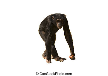 A chimpanzee walking with carrots in its hand isolated over white