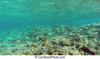 Pan view of fish among corals in the Red Sea - Egypt