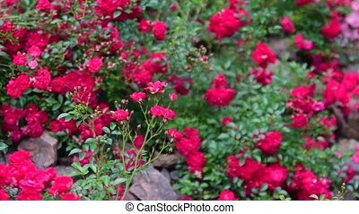 Pan view of roses in the rock garden. Rockery with roses.