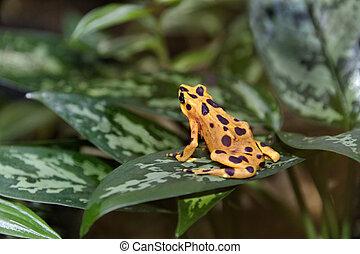 Panamanian Golden Frog - Yellow and brown panamanian golden...