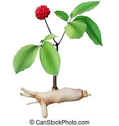 Panax ginseng - Highly detailed and coloured illustration.