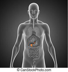 Pancreas - The pancreas /%u02C8p?%u014Bkri%u0259s/ is a...