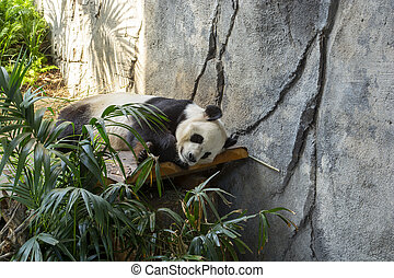 panda, bas, pose, ours, regarder, reposer
