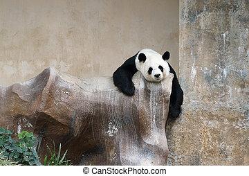 panda bear resting in the zoo