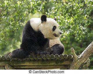 Panda bear watching