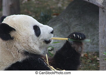 Panda chewing bamboo which the the primary part of their diet