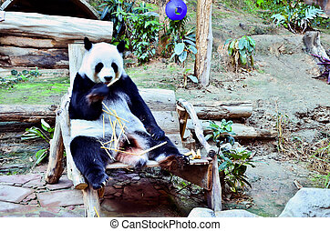 panda, comer, bamboo.