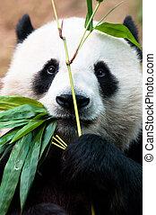 panda, comida, bambú