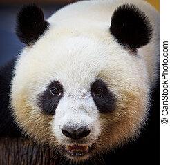 panda draagt