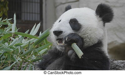 Panda eat juicy bamboo branches for lunch